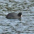 Photos: 宮滝大池にいたオオバンの群れ - 10