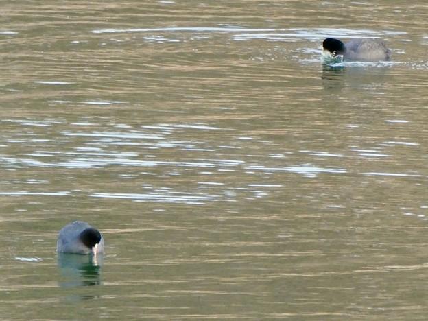 宮滝大池にいたオオバンの群れ - 5