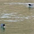 Photos: 宮滝大池にいたオオバンの群れ - 5