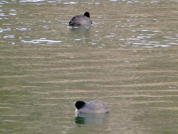 宮滝大池にいたオオバンの群れ - 8