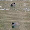 Photos: 宮滝大池にいたオオバンの群れ - 8