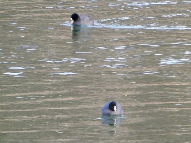 宮滝大池にいたオオバンの群れ - 6