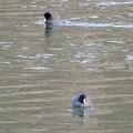 Photos: 宮滝大池にいたオオバンの群れ - 6