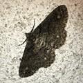 Photos: 薄っすらと縞模様のある蛾 - 1