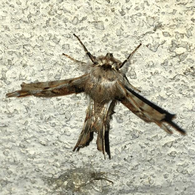 細い羽を持つ(たぶん)オカモトトゲエダシャク - 5