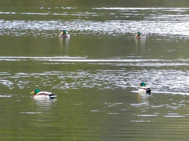 築水池にいた色んな種類のカモ - 1