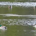 Photos: 築水池にいた色んな種類のカモ - 2