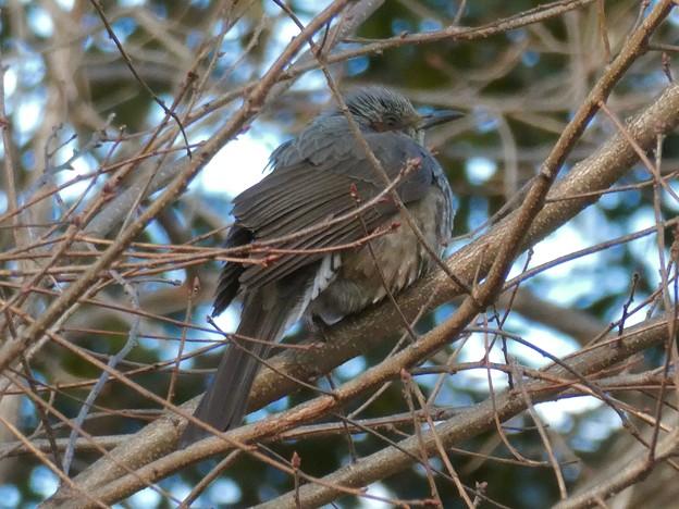 木の上で寒そうにしてたヒヨドリ