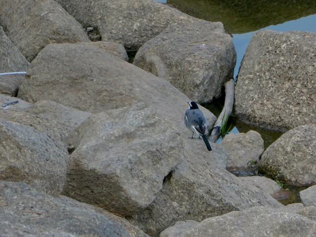岩の上を移動するハクセキレイ - 1