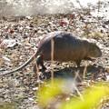 水辺でのんびり草を食べるヌートリア - 1