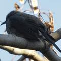 どっしりと木の枝の上に座っていたヒヨドリ - 2