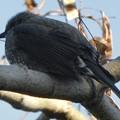 どっしりと木の枝の上に座っていたヒヨドリ - 3