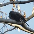 どっしりと木の枝の上に座っていたヒヨドリ - 1