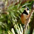 Photos: 木の上にとまるヤマガラ - 2