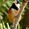 木の上にとまるヤマガラ - 1