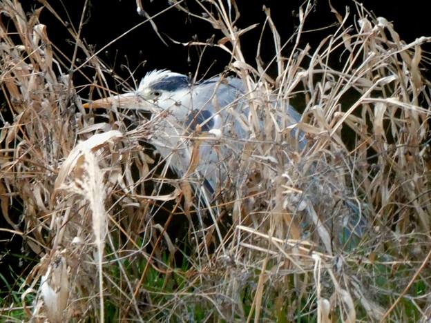 草の裏に隠れるアオサギ