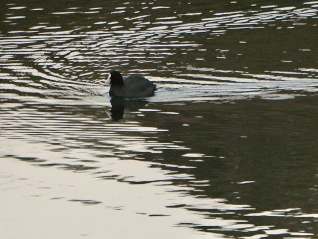 宮滝大池のオオバン - 3