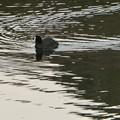 Photos: 宮滝大池のオオバン - 3