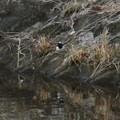 Photos: 宮滝大池にもいたセグロセキレイ - 1