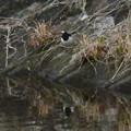 Photos: 宮滝大池にもいたセグロセキレイ - 2
