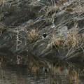 宮滝大池にもいたセグロセキレイ - 4