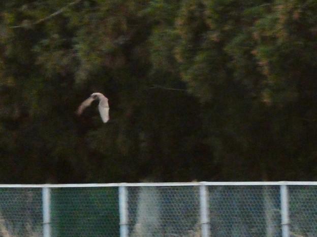 宮滝大池の上を飛ぶコウモリ - 1