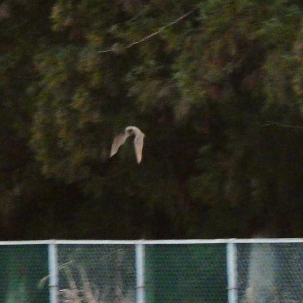 宮滝大池の上を飛ぶコウモリ - 2