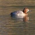宮滝大池にいた様々な鳥 - 6:ホシハジロのメス?