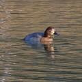 Photos: 宮滝大池にいた様々な鳥 - 9:ホシハジロのメス?