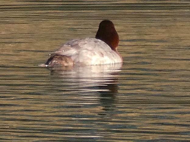Photos: 宮滝大池にいた様々な鳥 - 7:ホシハジロのメス?
