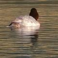 宮滝大池にいた様々な鳥 - 7:ホシハジロのメス?