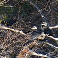 Photos: 木の上で喧嘩していたカワウ - 1
