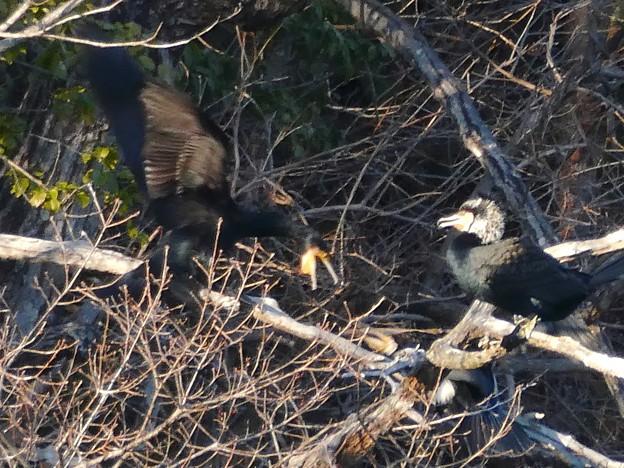 木の上で喧嘩していたカワウ - 2