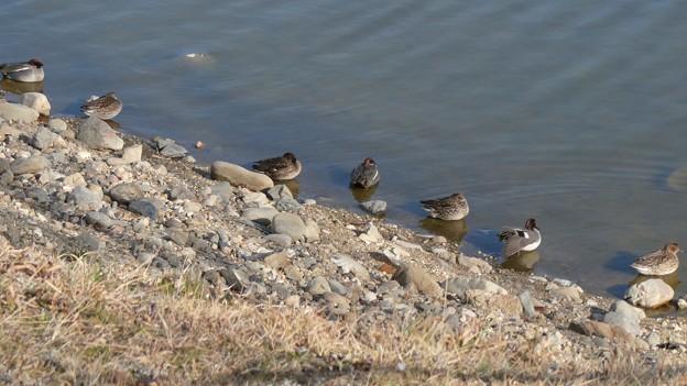 池の岸沿いに寝ていたコガモの群れ - 1