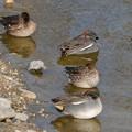 Photos: 池の岸沿いに寝ていたコガモの群れ - 6