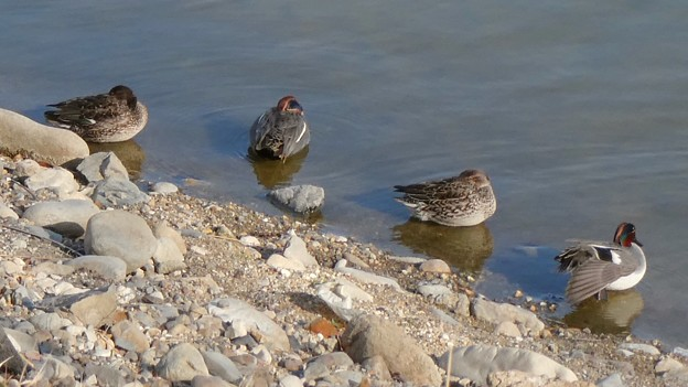 池の岸沿いに寝ていたコガモの群れ - 2