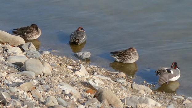 Photos: 池の岸沿いに寝ていたコガモの群れ - 2