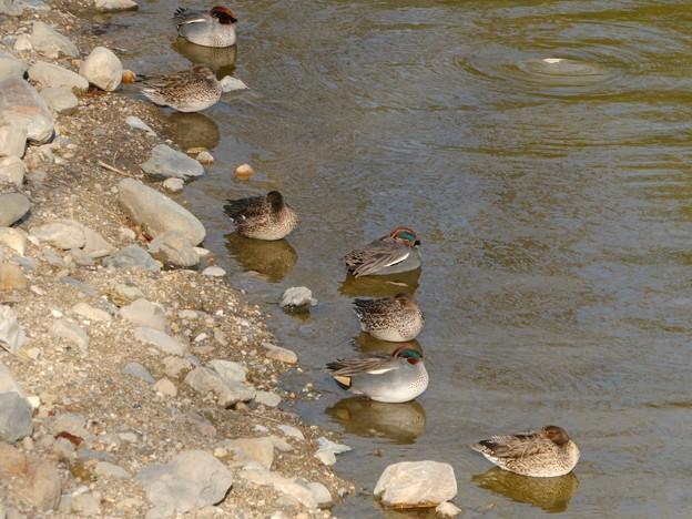 池の岸沿いに寝ていたコガモの群れ - 5