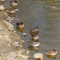 Photos: 池の岸沿いに寝ていたコガモの群れ - 5