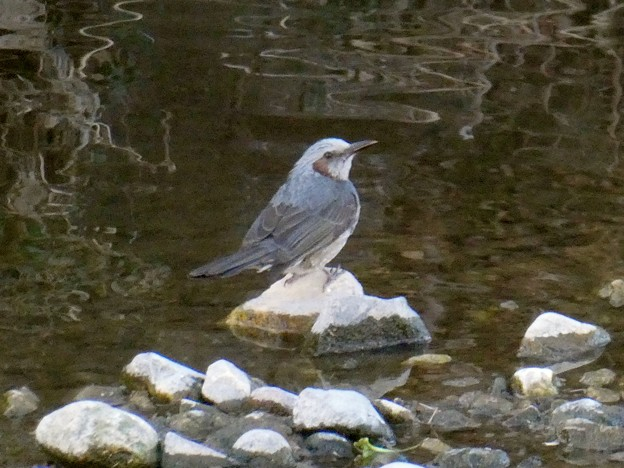 川の中の石の上に立つヒヨドリ