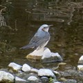 Photos: 川の中の石の上に立つヒヨドリ