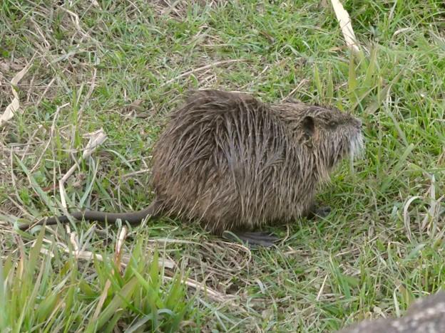 大谷川で草を食べていたヌートリア - 4