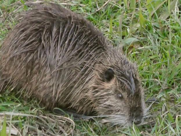 大谷川で草を食べていたヌートリア - 6