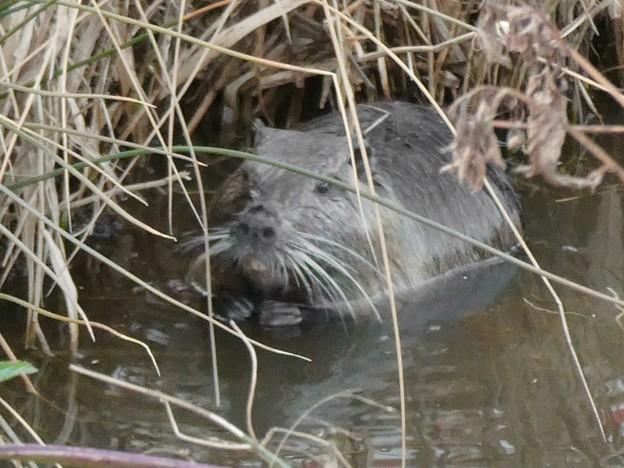 大谷川で草を食べていたヌートリア - 15
