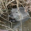 Photos: 大谷川で草を食べていたヌートリア - 15