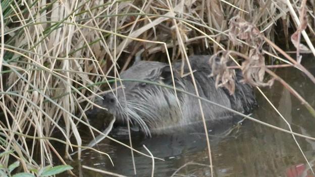 大谷川で草を食べていたヌートリア - 13