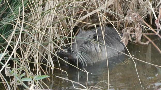 大谷川で草を食べていたヌートリア - 14