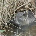Photos: 大谷川で草を食べていたヌートリア - 14