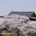 Photos: 2018平城旧跡の桜