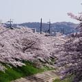 Photos: 2018佐保川の桜